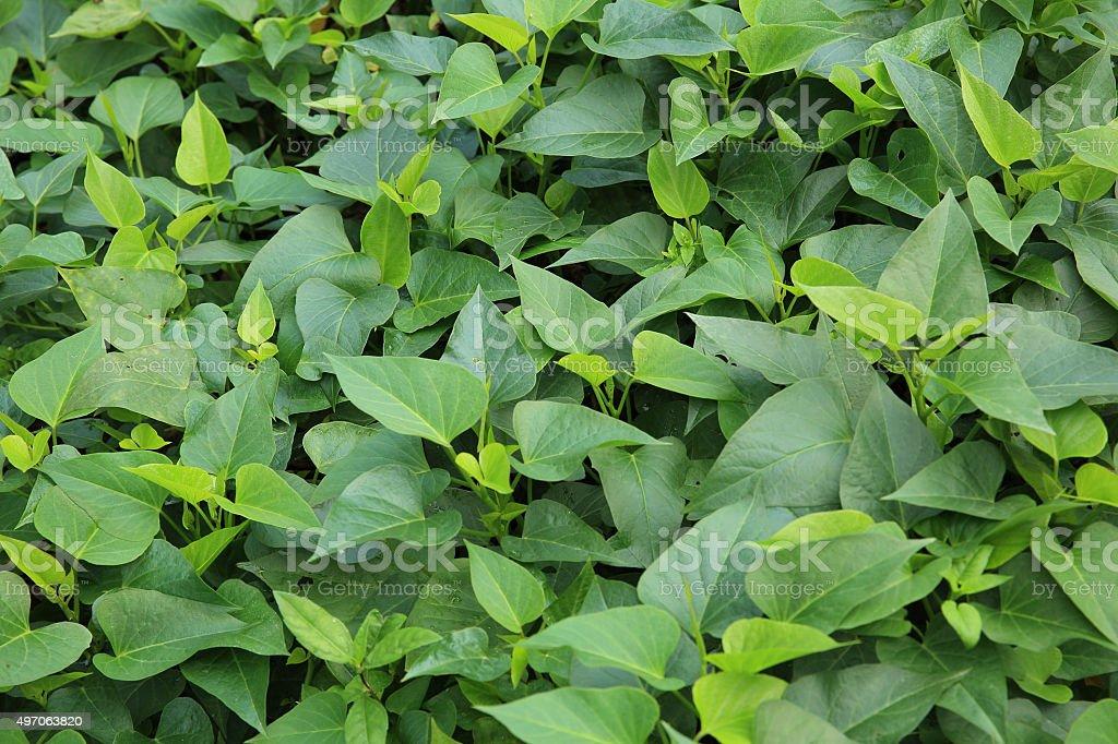 sweet potato crop stock photo