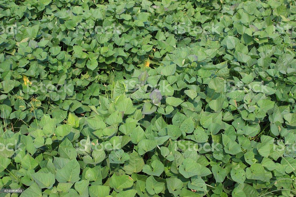 Sweet potato crops stock photo