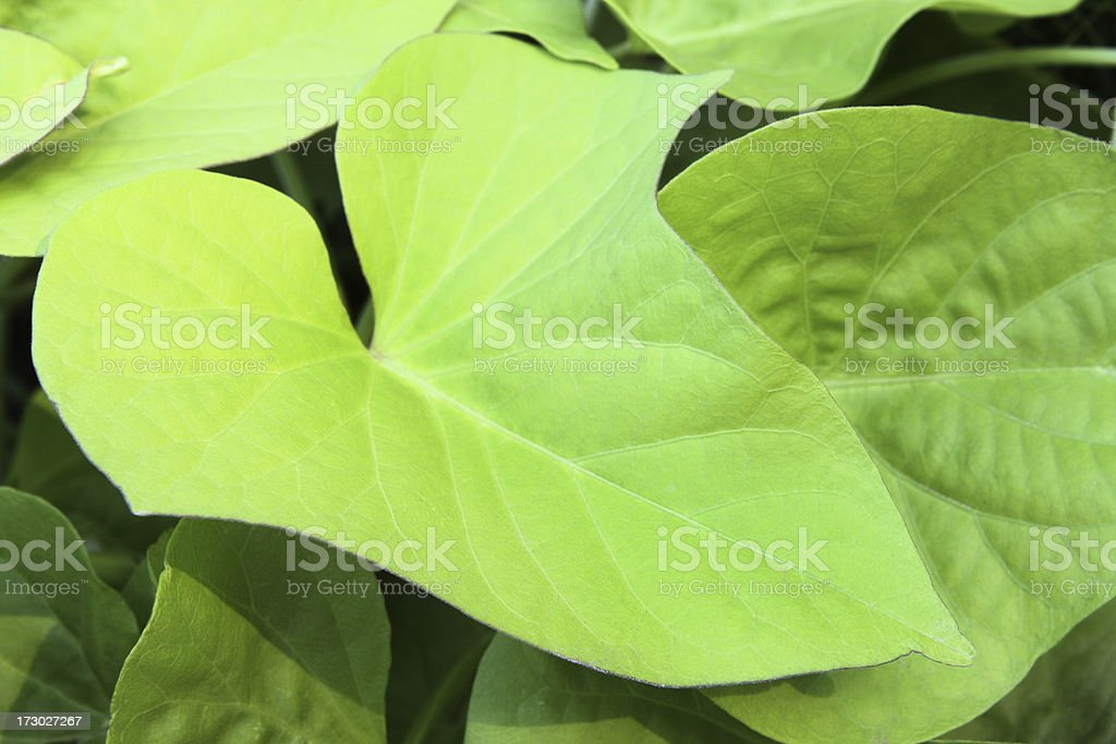 Sweet Potato Ipomoea batatas Leaf stock photo