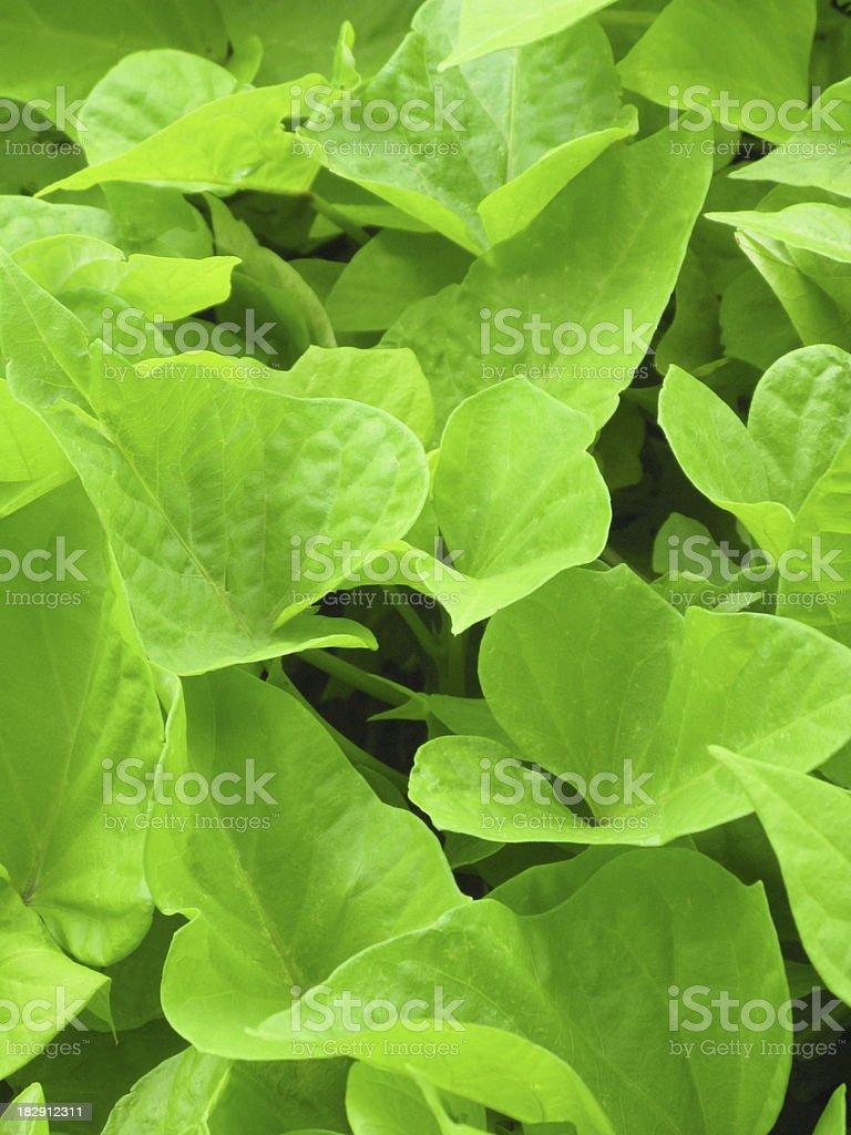 Sweet Potato Ipomoea Sidekick Lime Plant stock photo