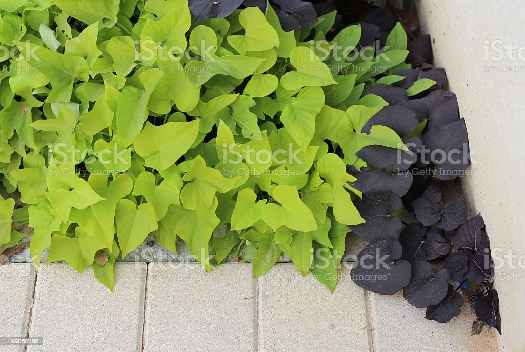 Sweet Potato Leaves stock photo
