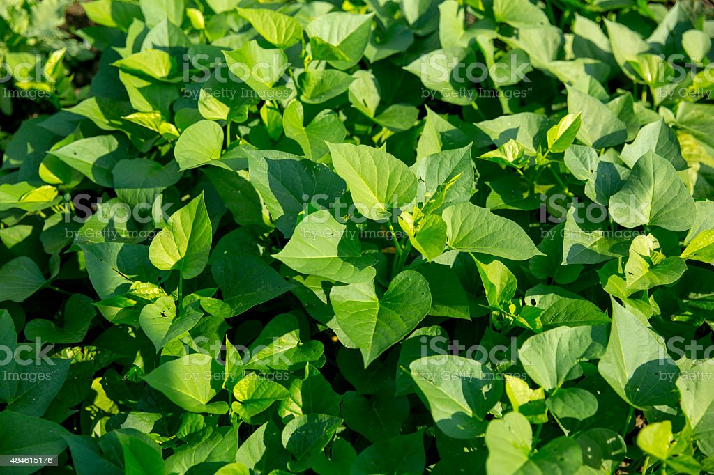 sweet potato plants stock photo