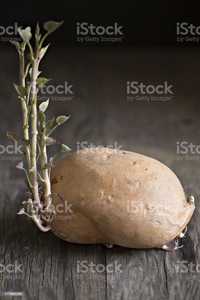 Sweet Potato Sprouting stock photo