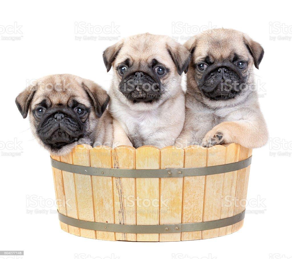Sweet Puppies Trio stock photo