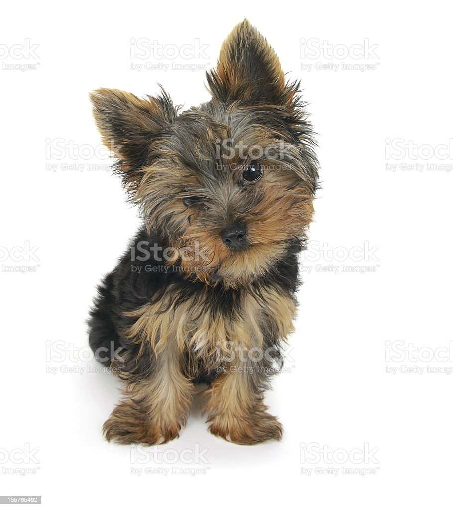 Sweet puppy Yorkshire Terrier royalty-free stock photo