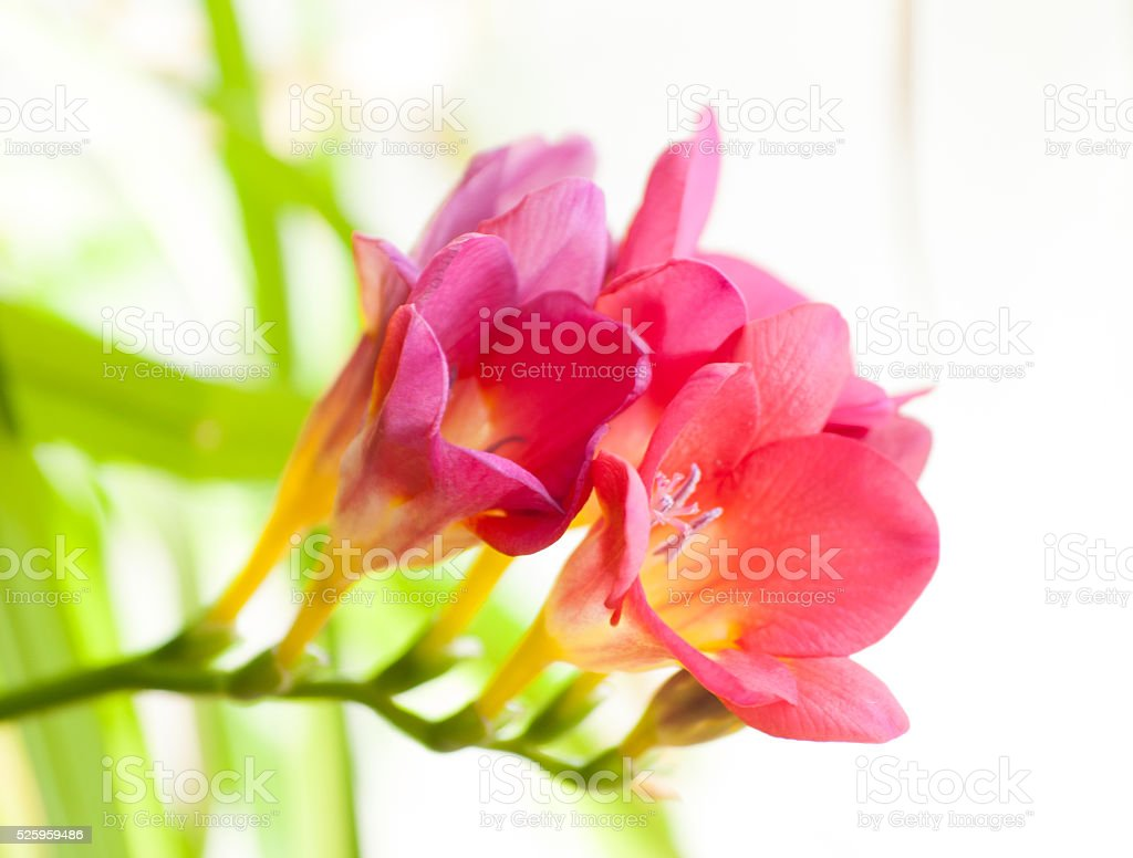 Sweet scented tubular blooms of Freesia. stock photo