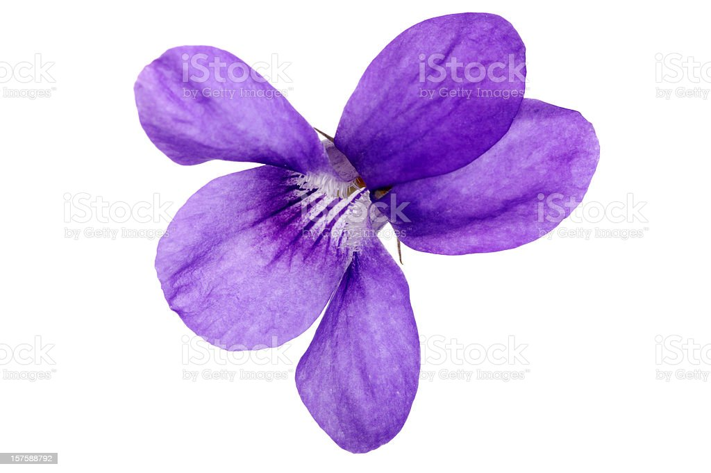Sweet Violet Flower Macro stock photo