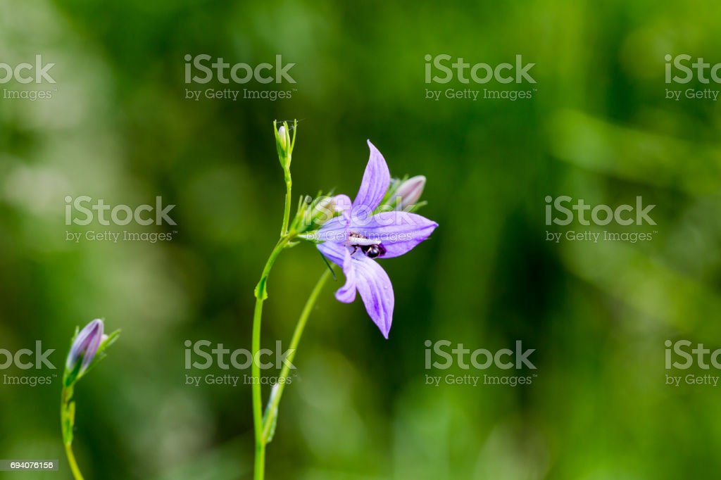 Sweet violet (Viola odorata) with sleeping insect stock photo