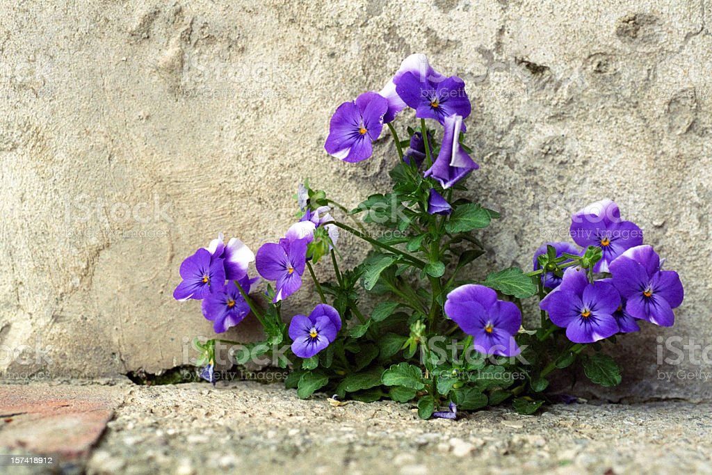 Sweet Violets stock photo