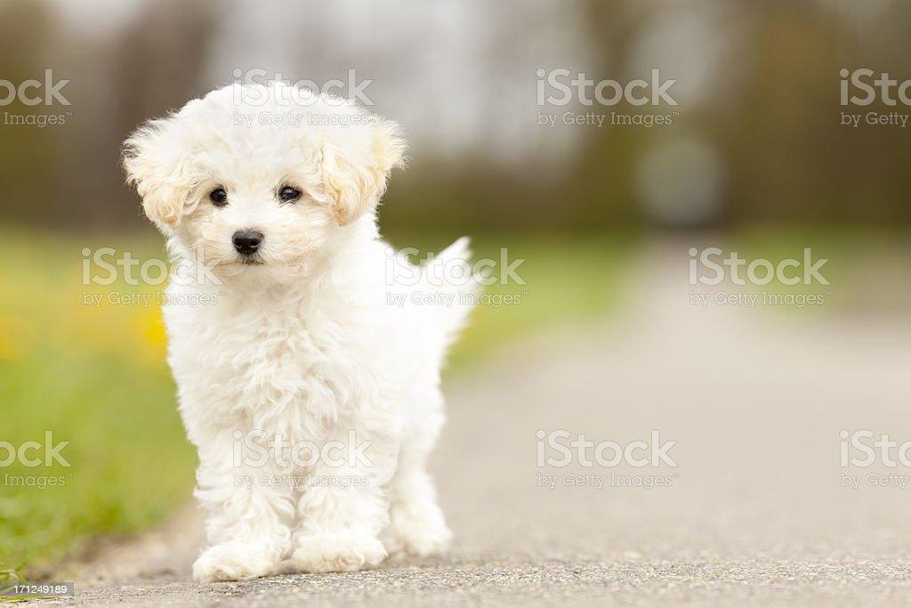 sweet walking maltese terrier royalty-free stock photo