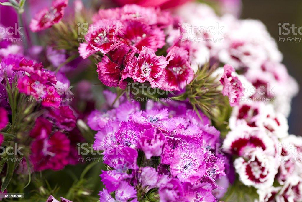Sweet William Bouquet stock photo