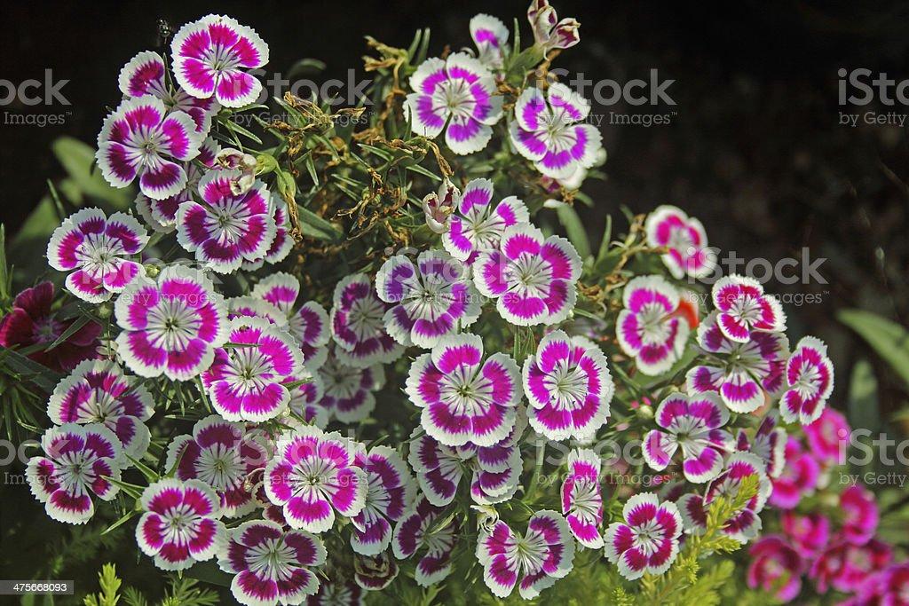 Sweet William, Dianthus barbatus stock photo