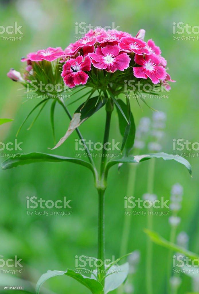 Sweet William Flower stock photo