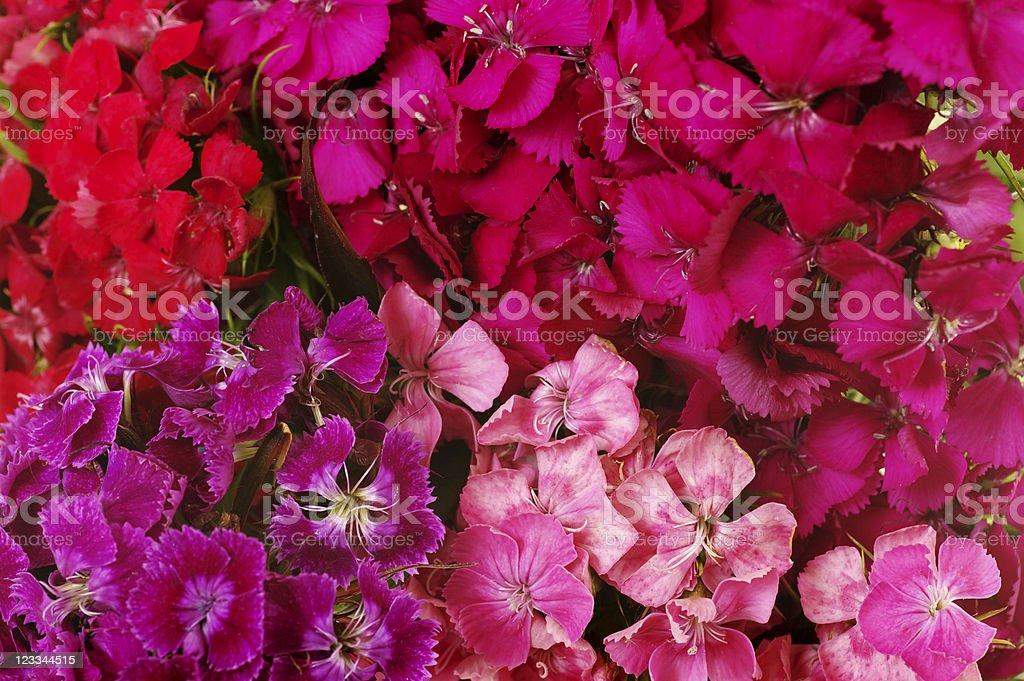 Sweet William Flowers Background stock photo