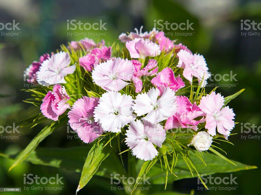 sweet william, flowers growing in the garden, selective focus stock photo