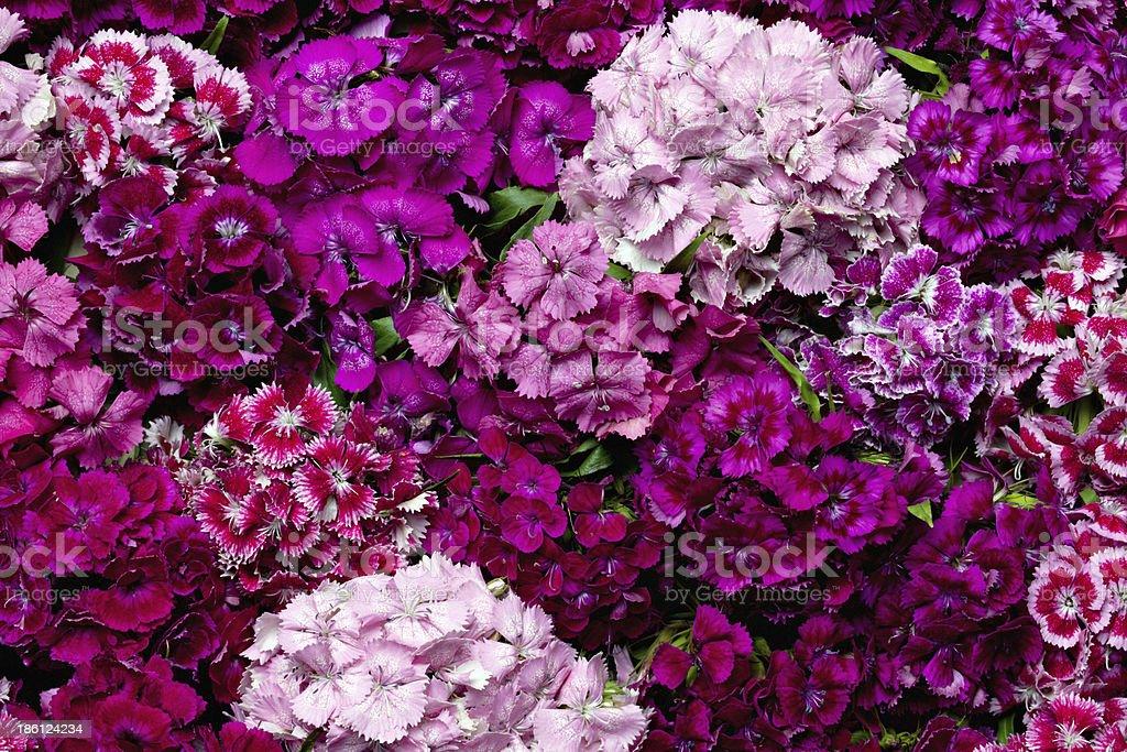 Sweet William flowers. stock photo