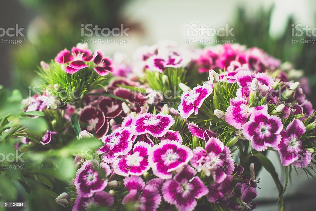 Sweet william flowers stock photo
