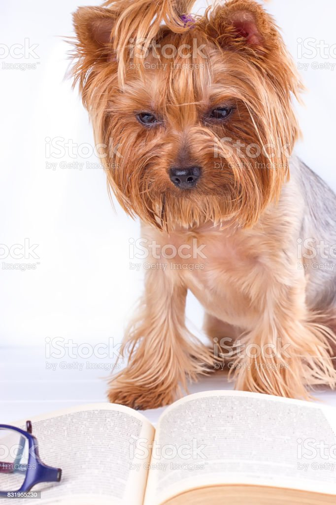 Sweet York reading a book stock photo