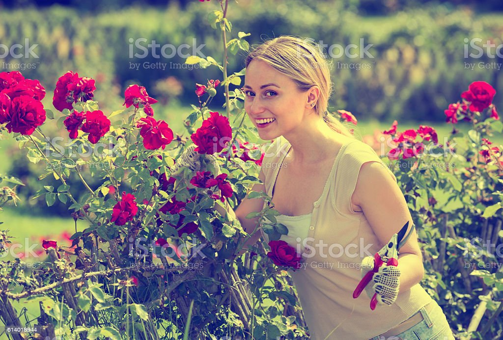 sweet young woman working with bush roses with horticultural too stock photo