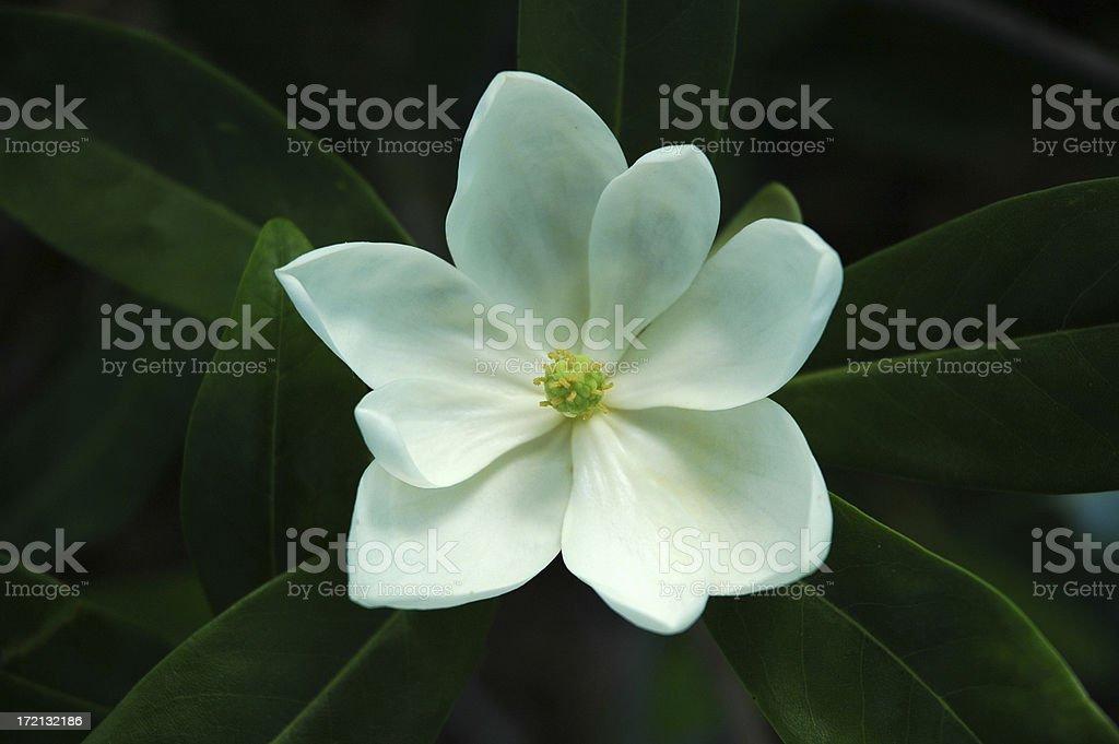 Sweetbay Magnolia Flower royalty-free stock photo