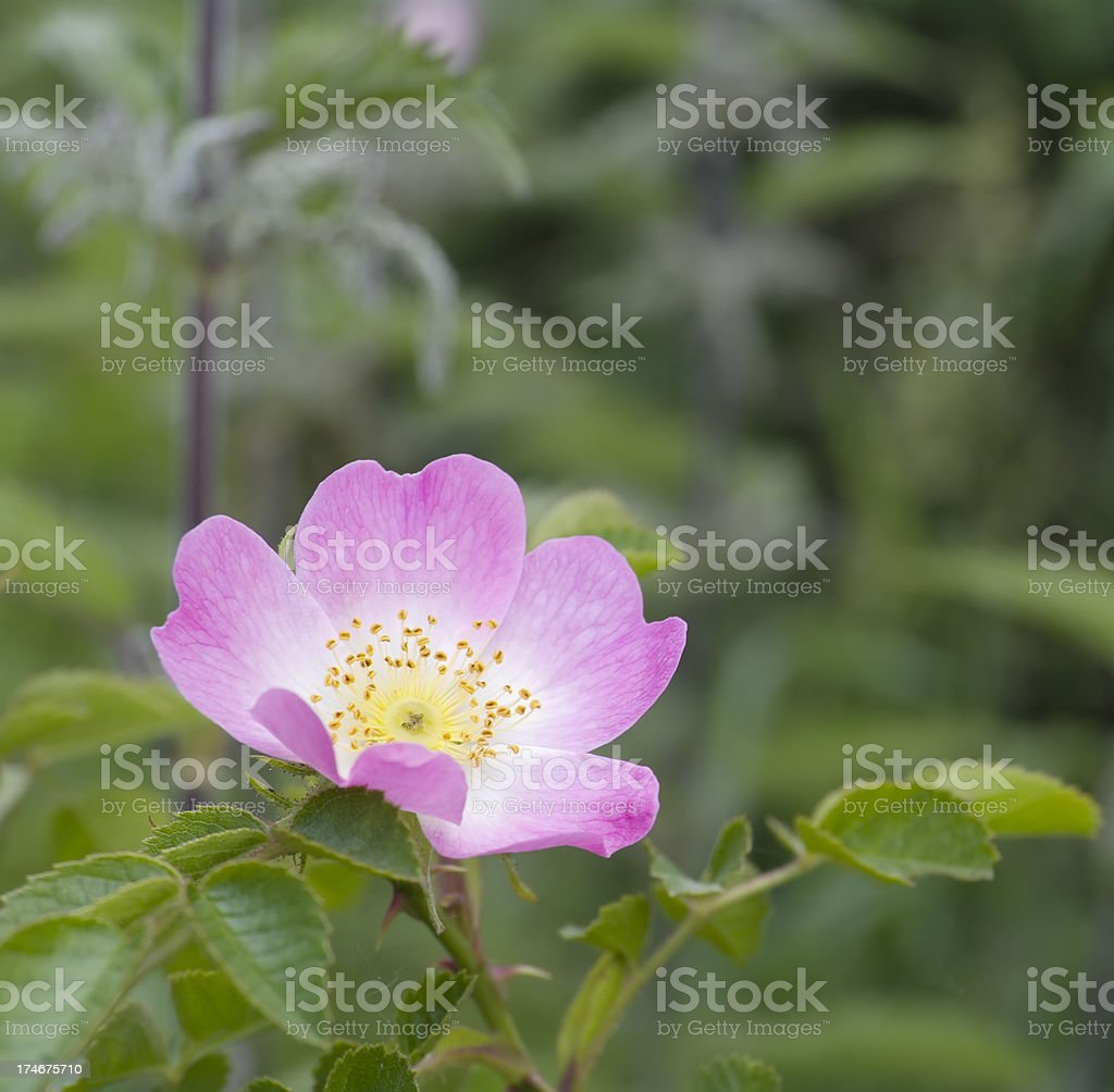 Sweetbriar Rose (Rosa rubiginosa) Flower royalty-free stock photo