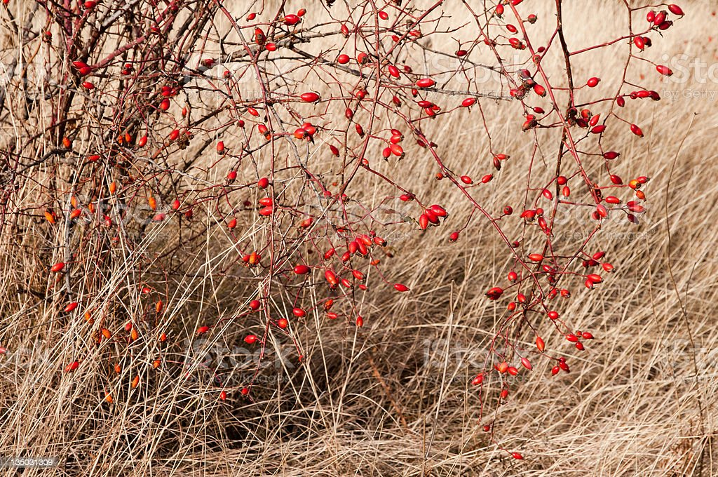 Sweetbriar Rose (Rosa rubiginosa) Hips royalty-free stock photo