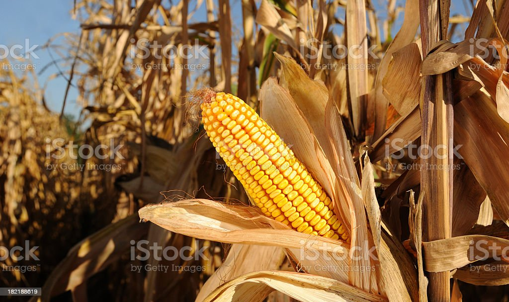 Sweetcorn growing in a cornfield under a blue sky royalty-free stock photo