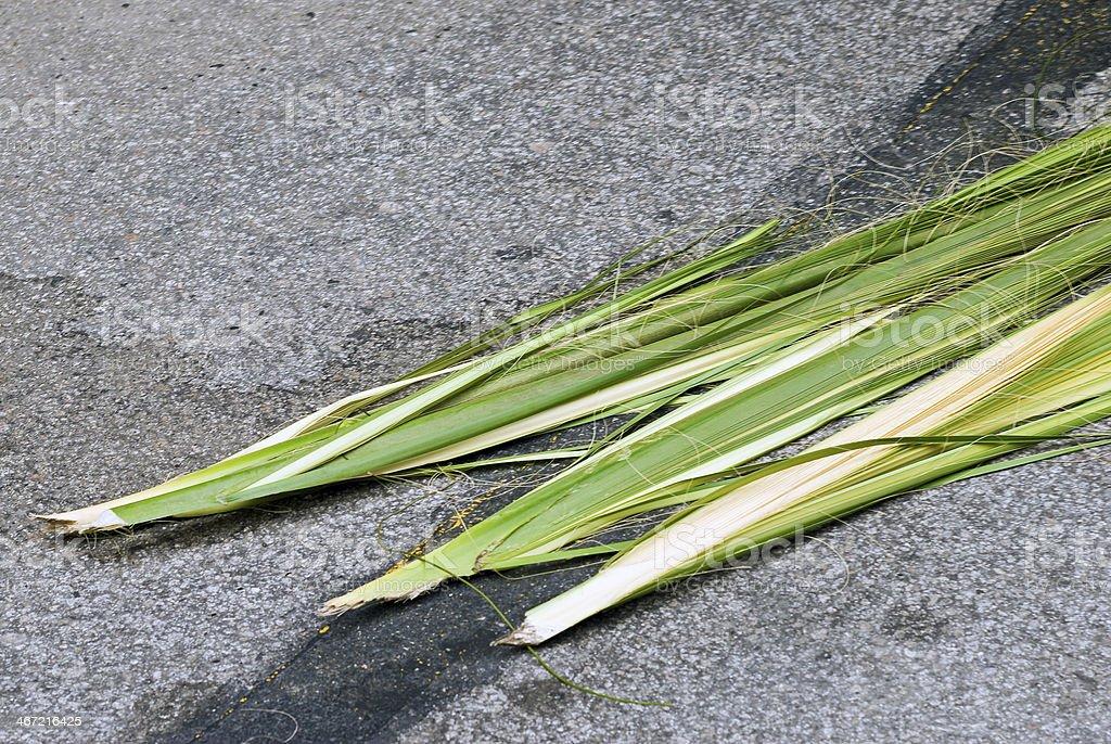 Sweetgrass (Muhlenbergia filipes) stock photo