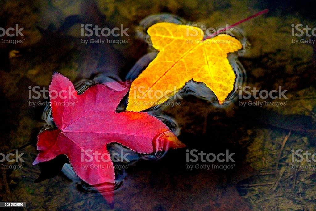 Sweetgum Fall Leaves Afloat 'Holding Hands' stock photo