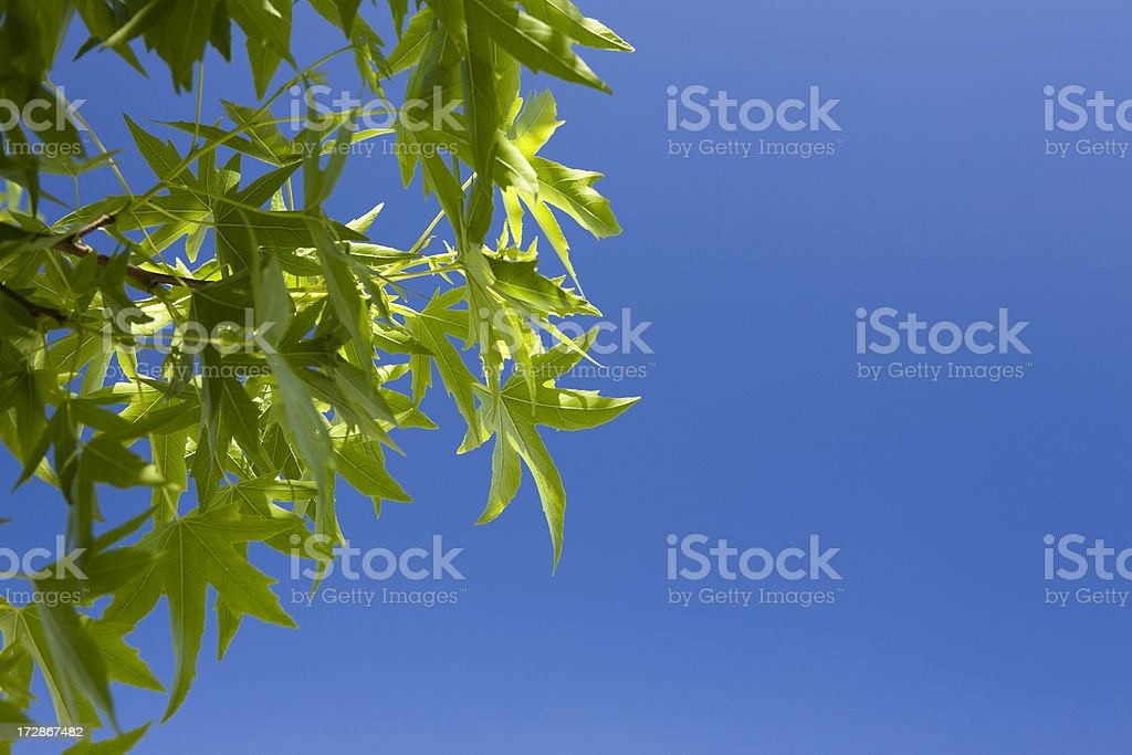 Sweetgum Leaves and Sky stock photo