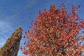 Sweetgum liquidambar red leaves in autumn