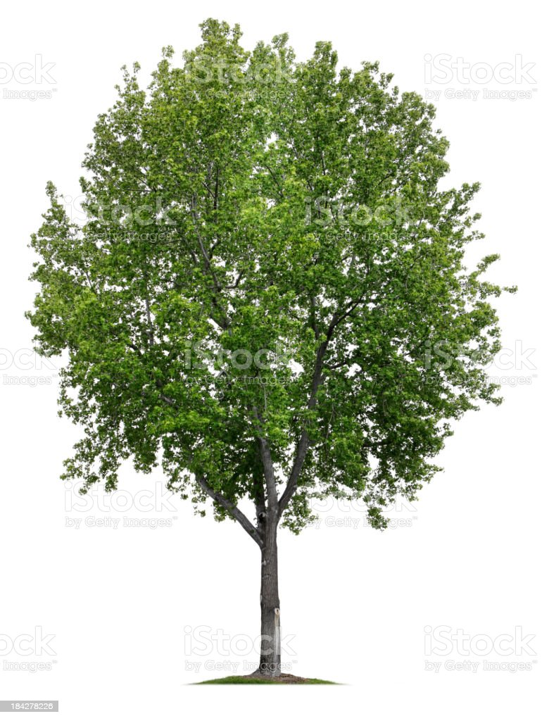 Sweetgum Tree royalty-free stock photo