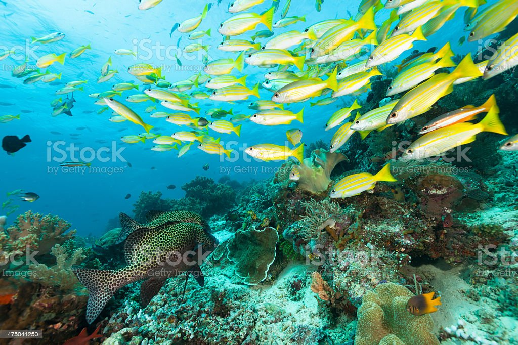 Sweetlips Join The Snapper Party, Raja Ampat, West Papua, Indonesia stock photo