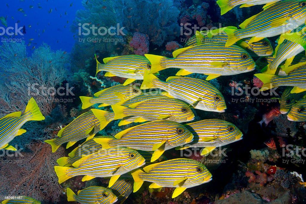 Sweetlips underwater scene stock photo