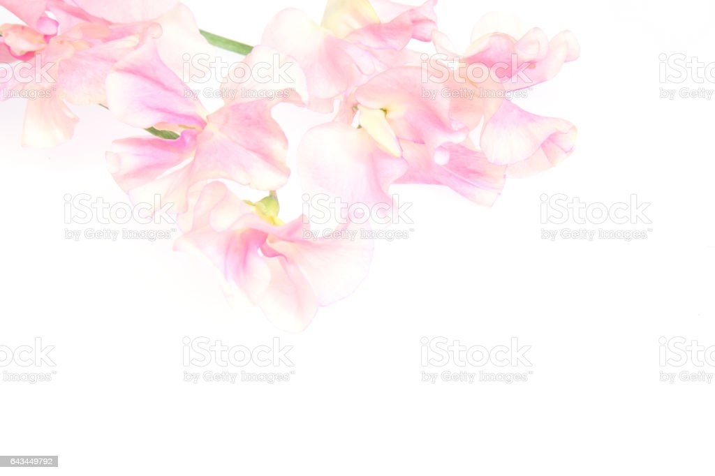Sweetpea in a white background stock photo
