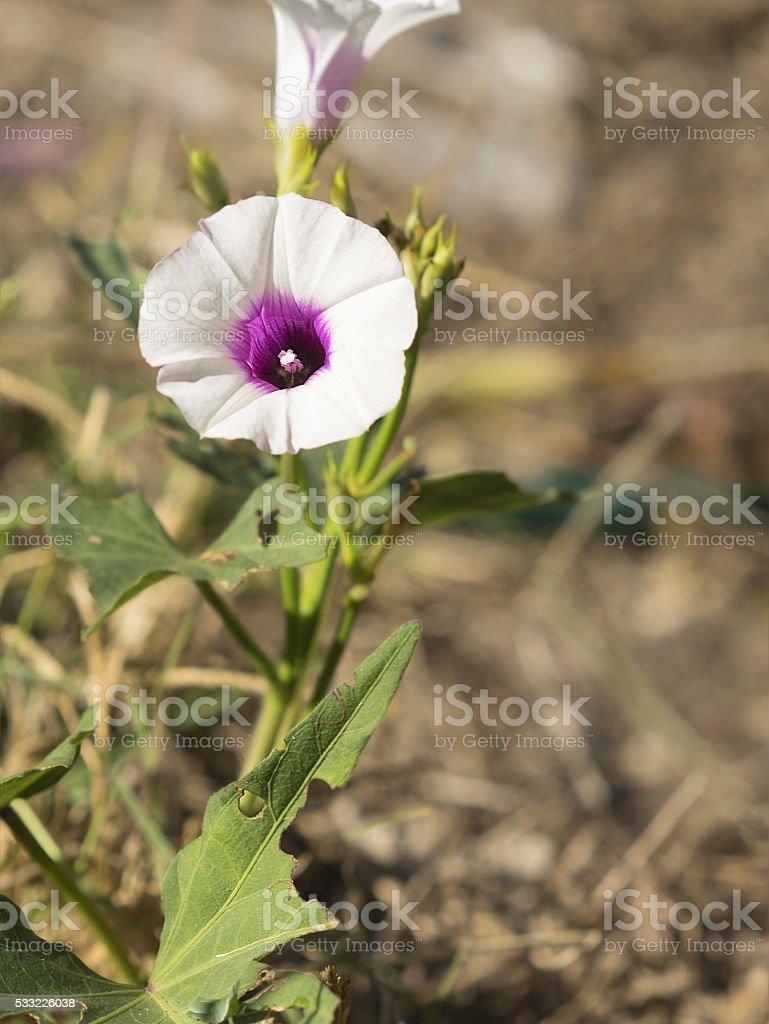 Sweetpotato Flower stock photo