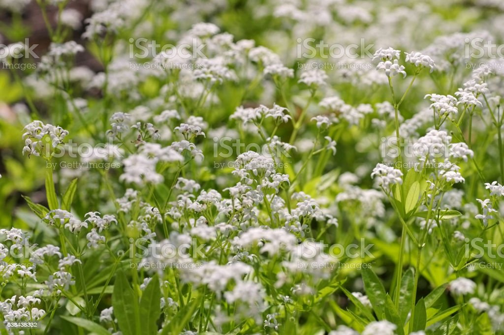 sweetscented bedstraw or Galium odoratum stock photo