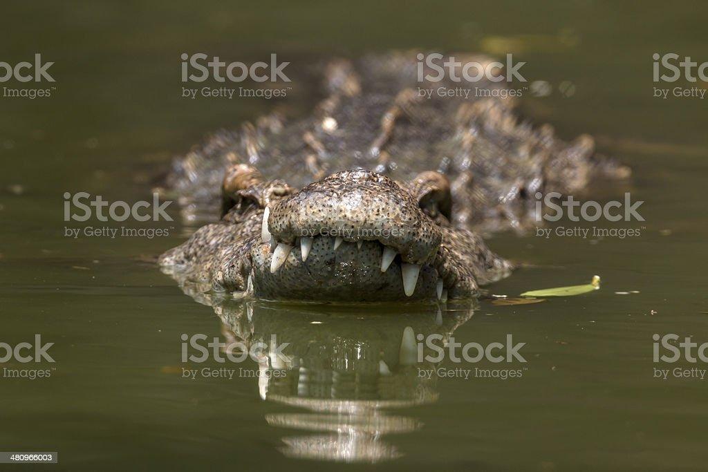 Schwimmen in Krokodilleder Lizenzfreies stock-foto