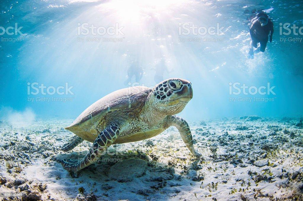 Swiming with Mr Sea turtle stock photo