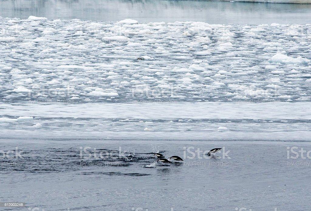 Swimming Adelie Penguins stock photo