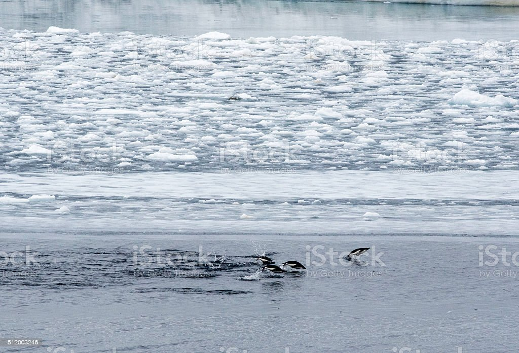 Swimming Adelie Penguins stock photo