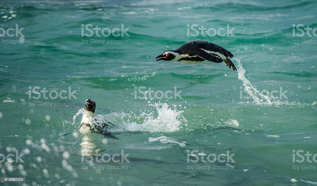 Swimming and Jumping out of water African Penguin. stock photo