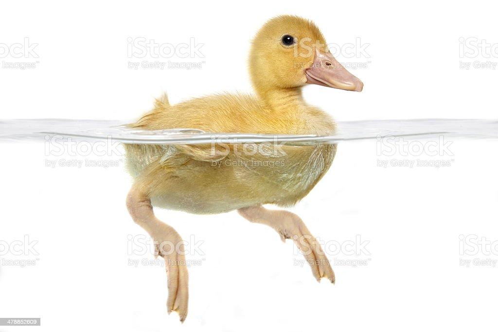 Swimming Baby Duck stock photo