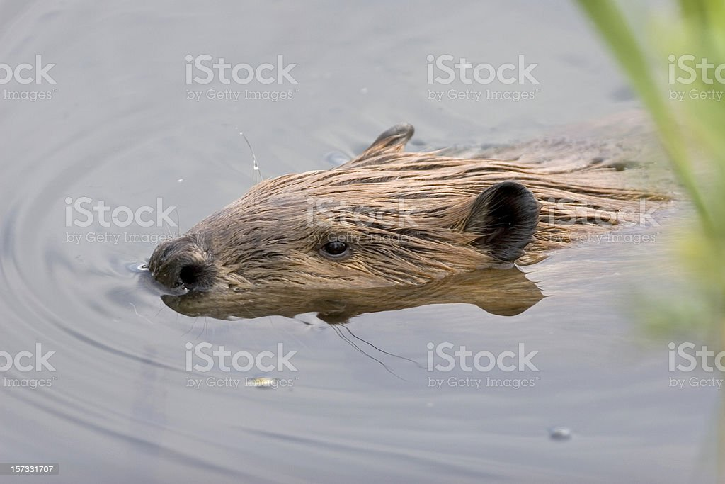Swimming beaver, Denver, Colorado royalty-free stock photo