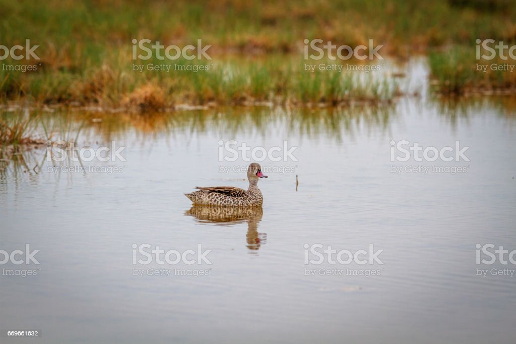Swimming Cape teal. stock photo