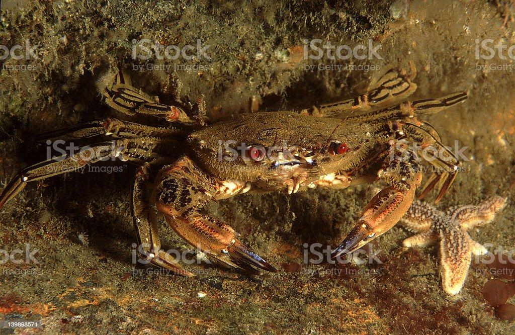 Swimming crab stock photo