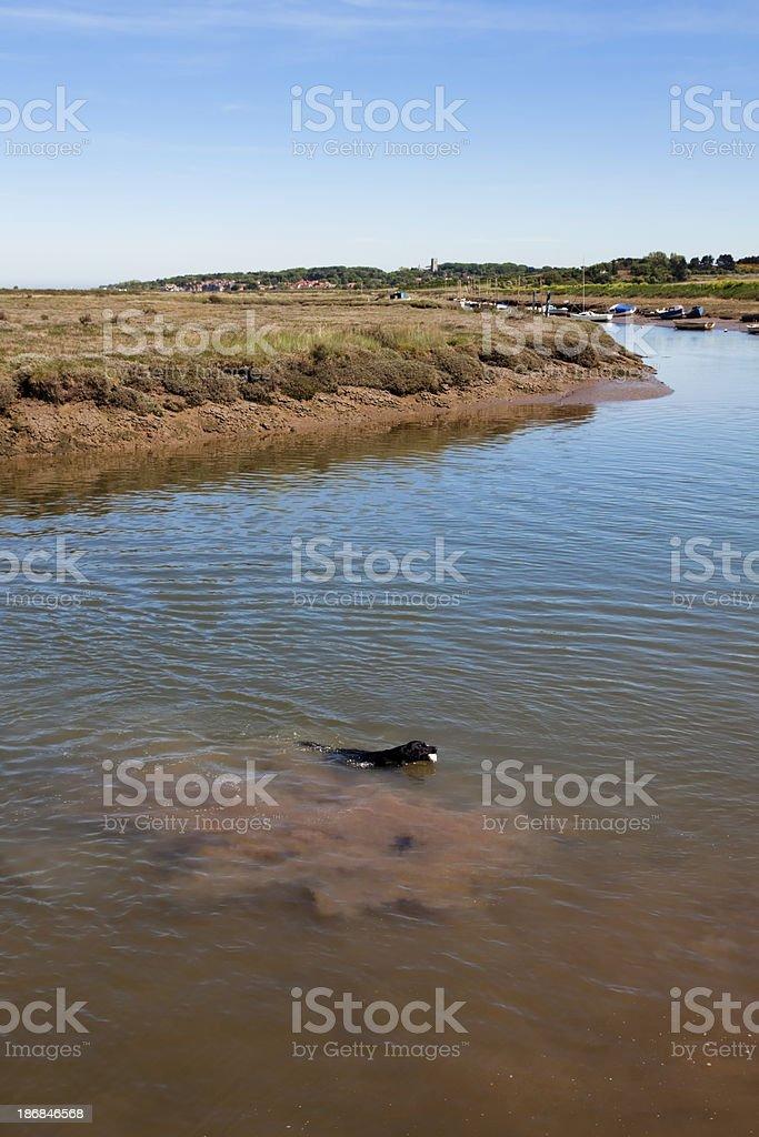 Swimming dog at Morston, Norfolk royalty-free stock photo