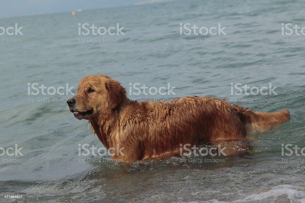 Swimming dog stock photo