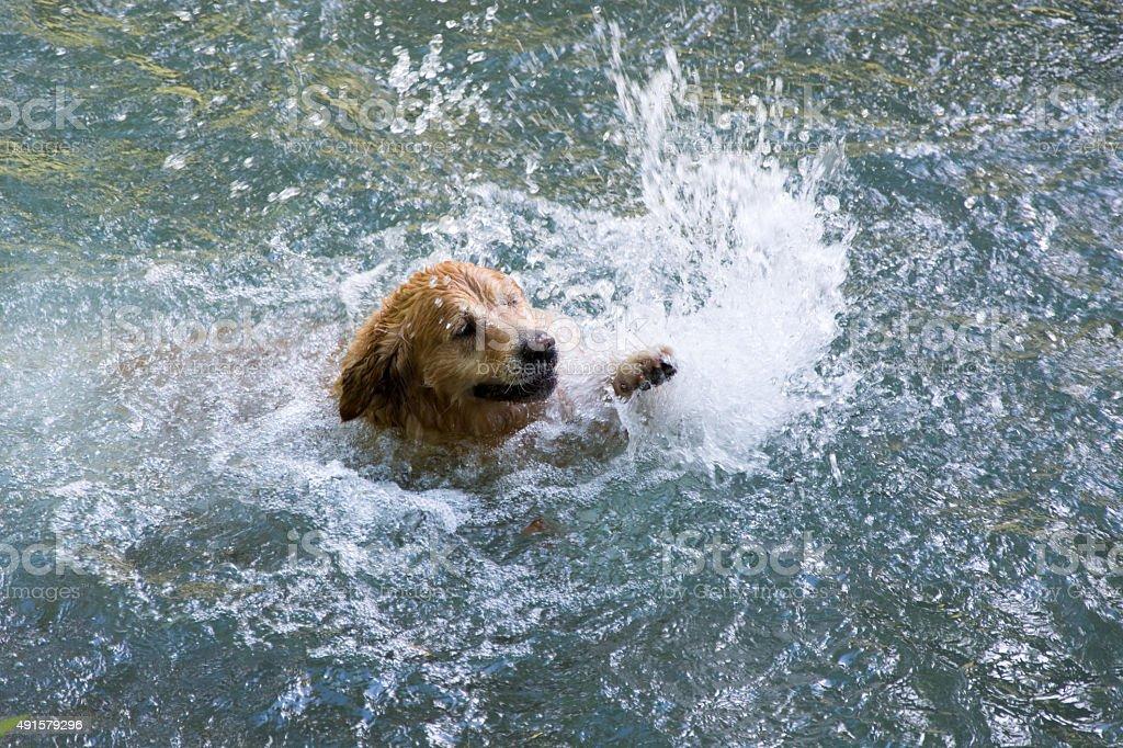 Perro de natación foto de stock libre de derechos