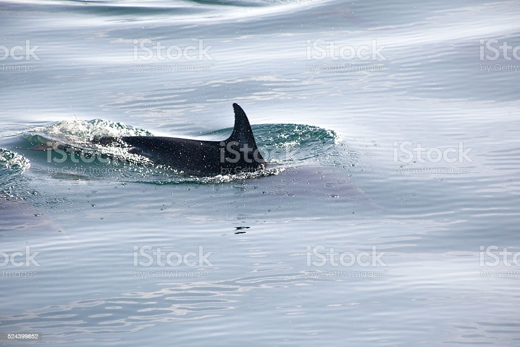 Swimming dolphin fin above the surface of the ocean stock photo